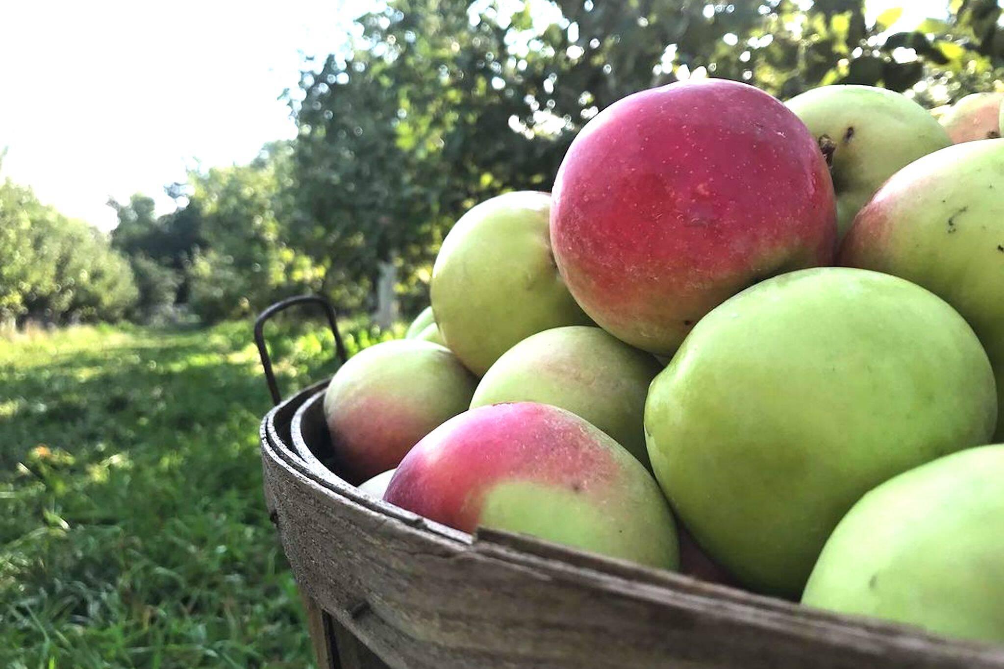 apple picking ontario