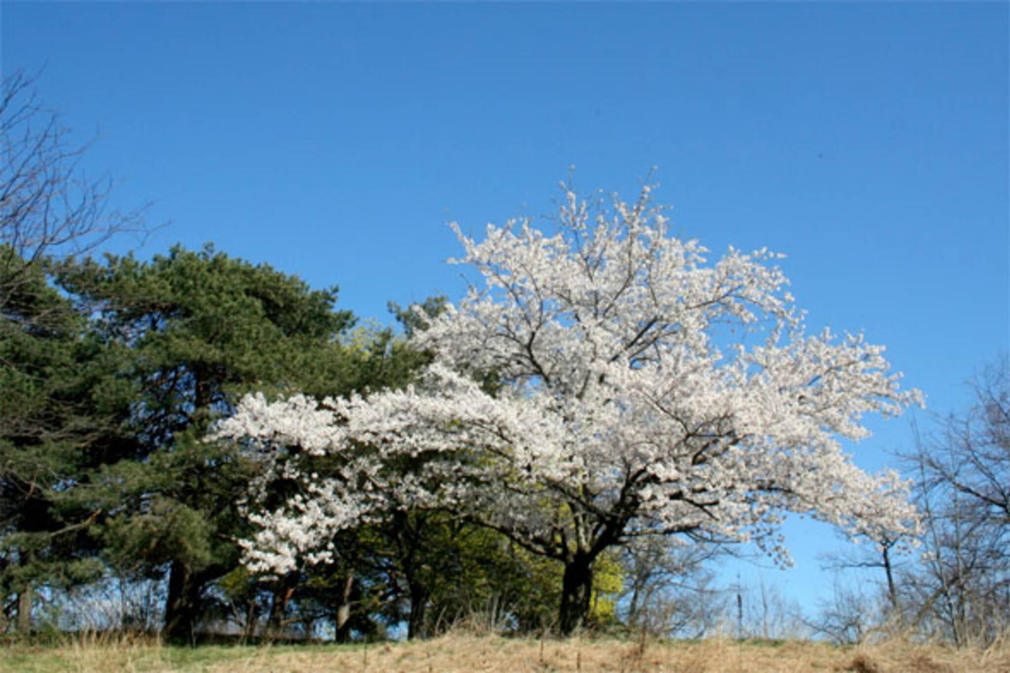 cherry blossoms high park