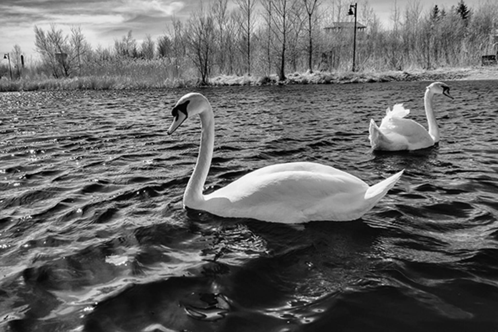 swans toronto