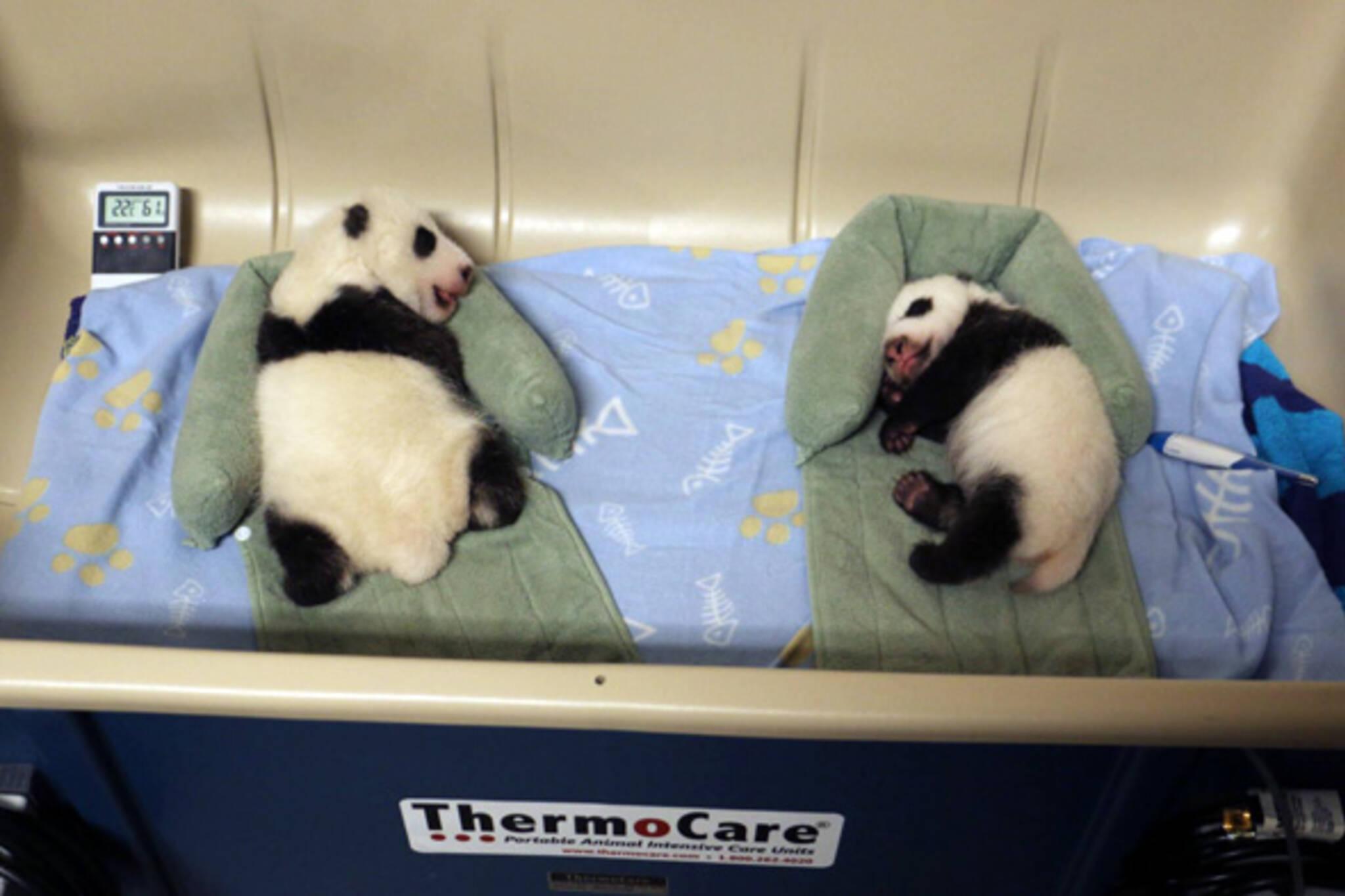 pandas toronto zoo
