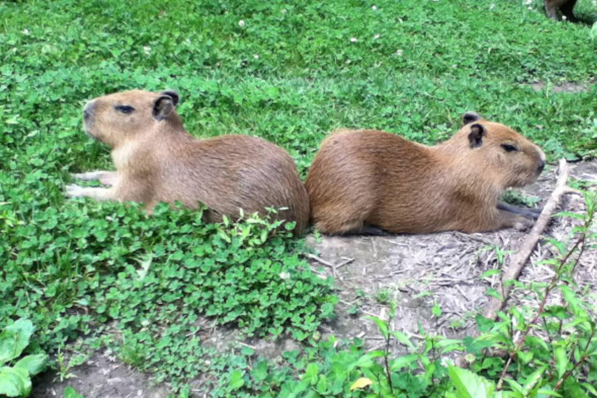Toronto capybara