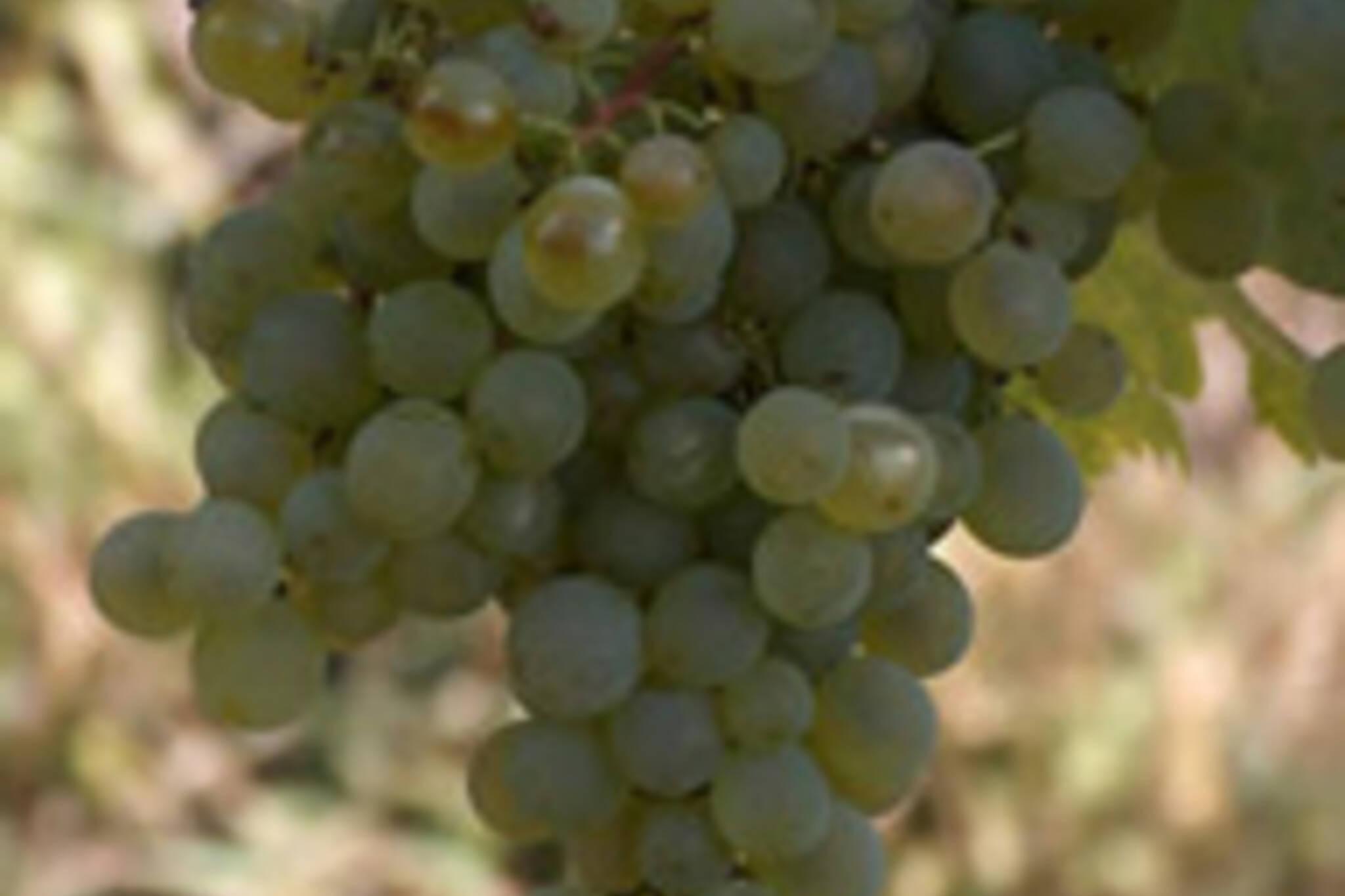 Gruner Veltliner nearly ready for harvest in Austria (image courtesy of www.wineanorak.com)