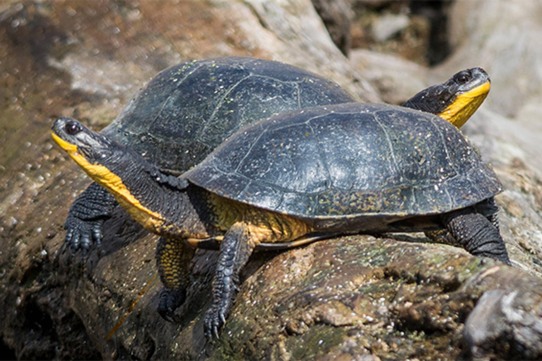 turtles toronto