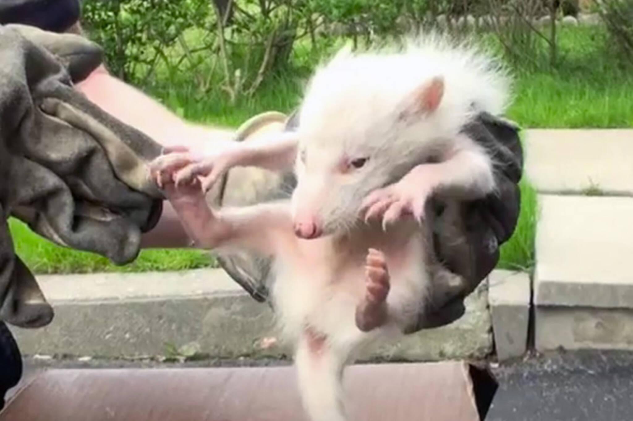 Albino raccoons Toronto