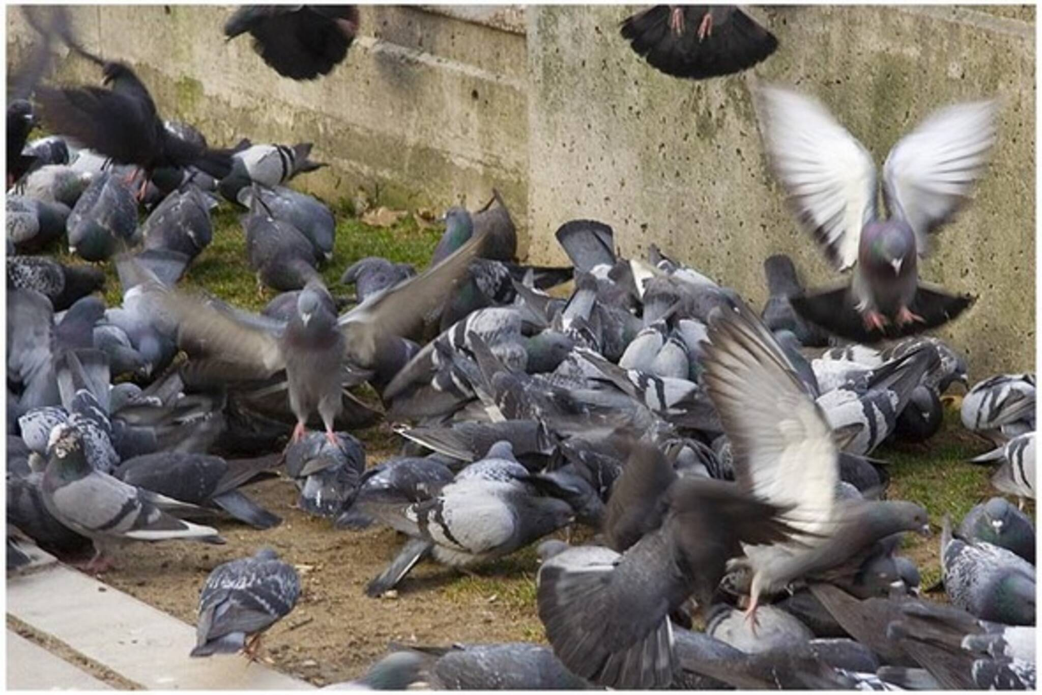 pigeons590.jpg