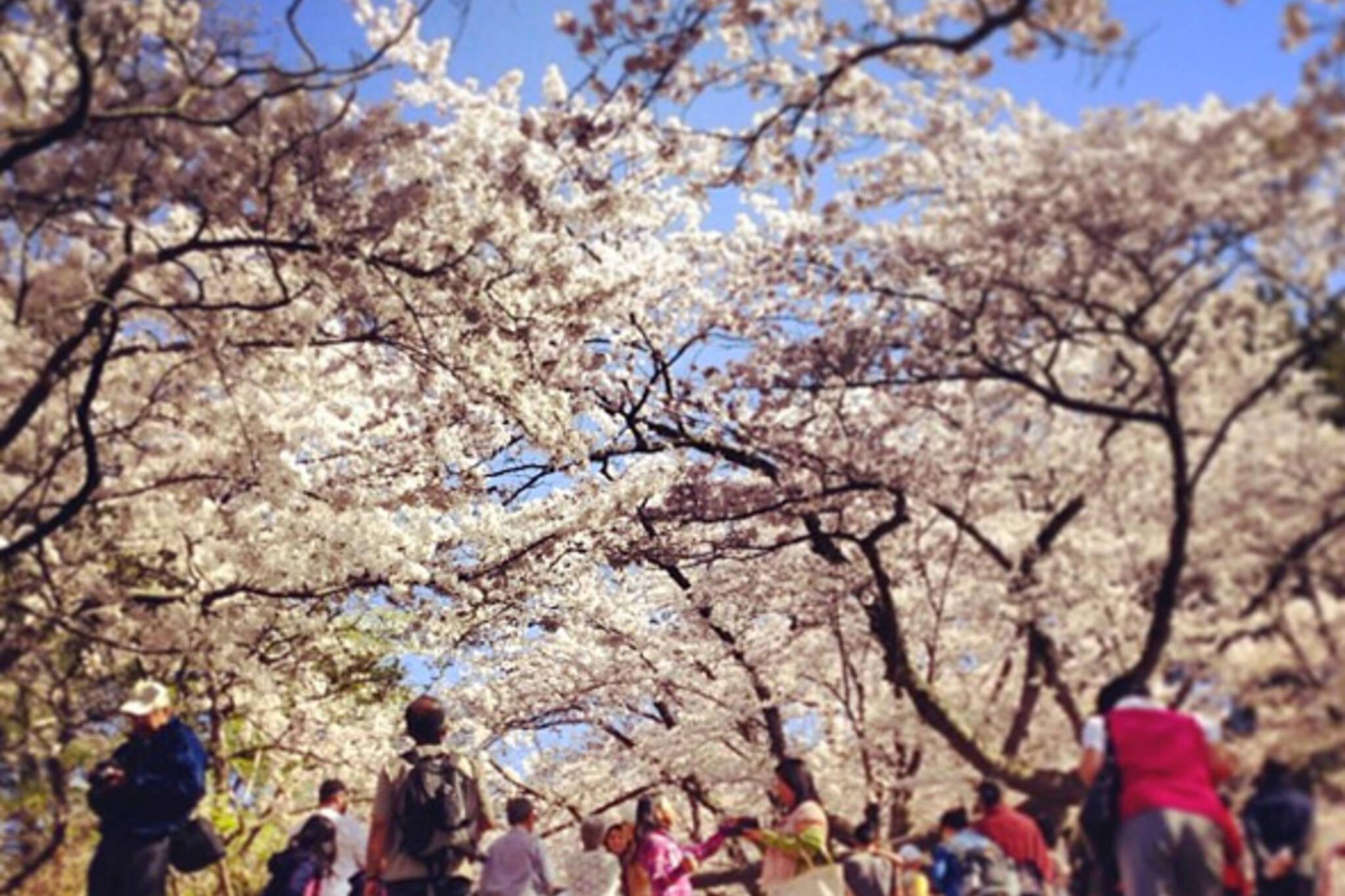 High Park Cherry Blossoms 2013