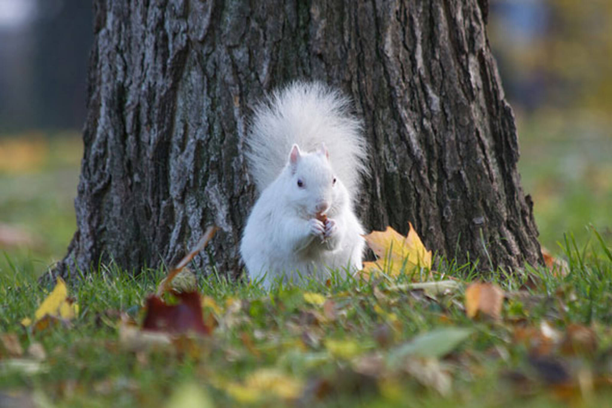 toronto white squirrels