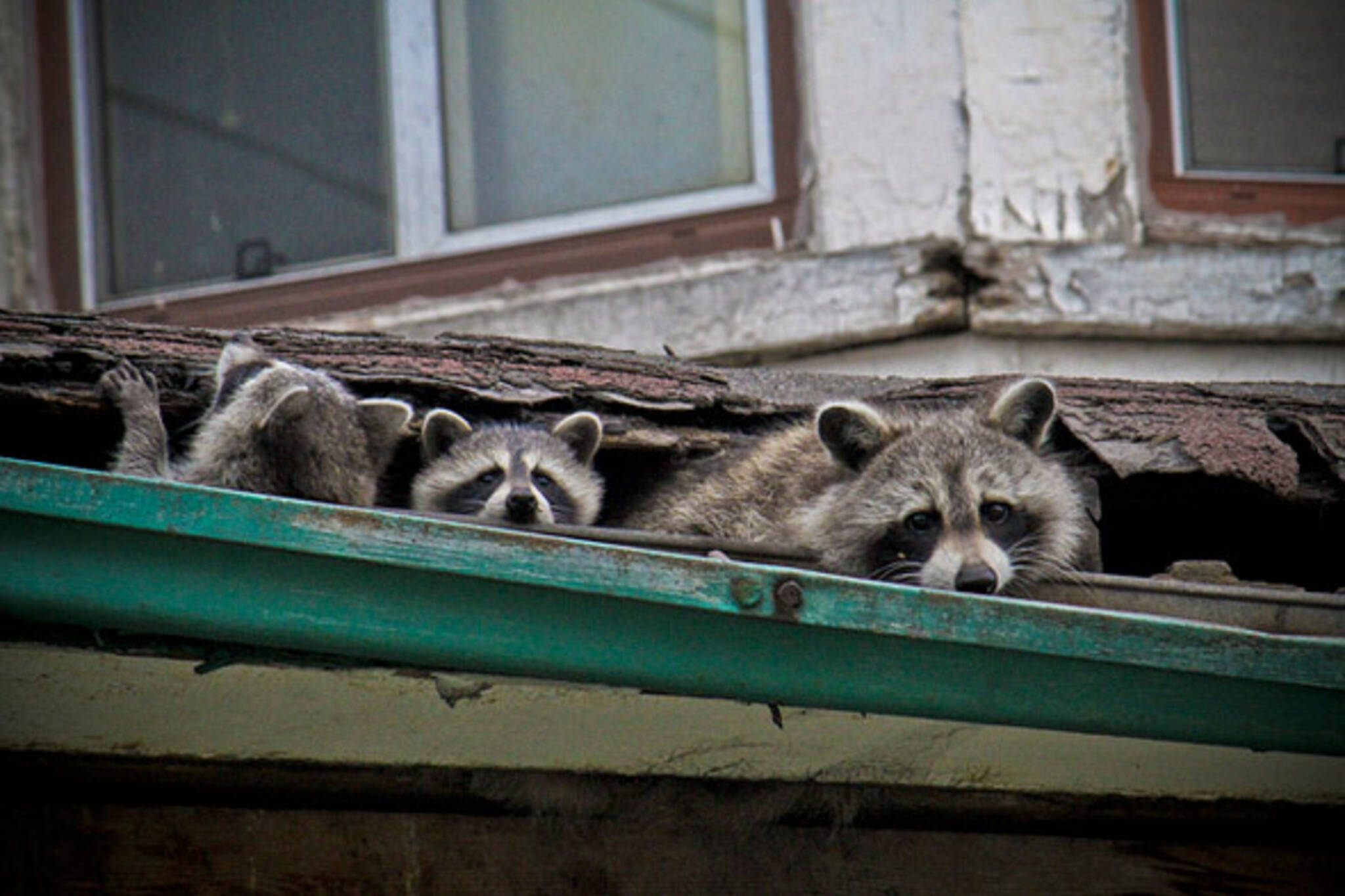 raccoon, hi, family