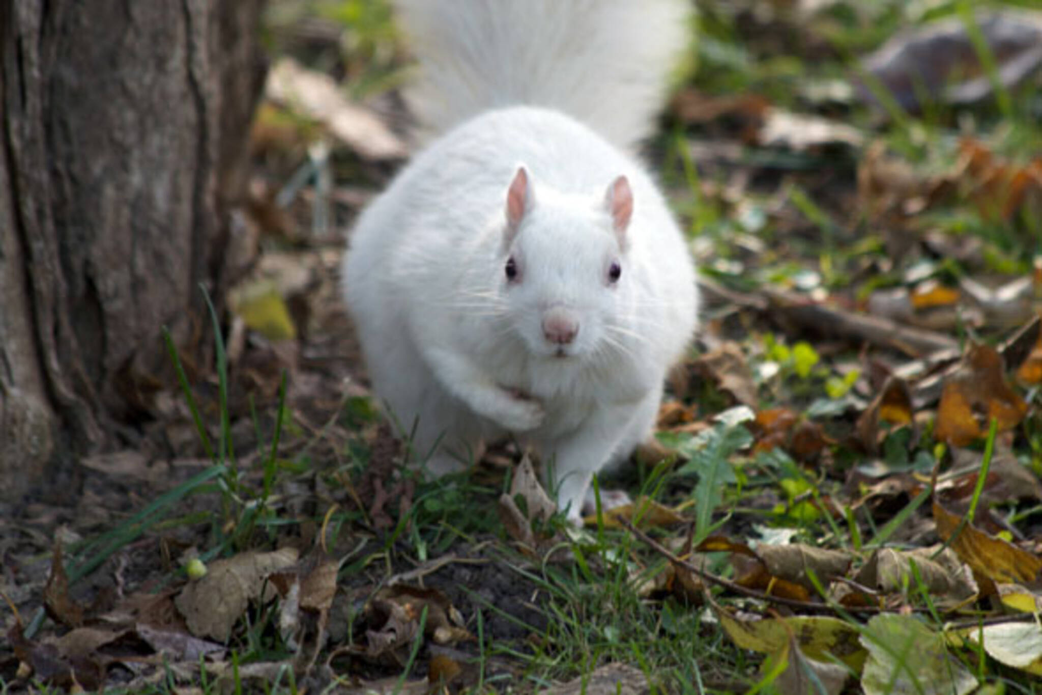 Trinity Bellwoods white squirrel