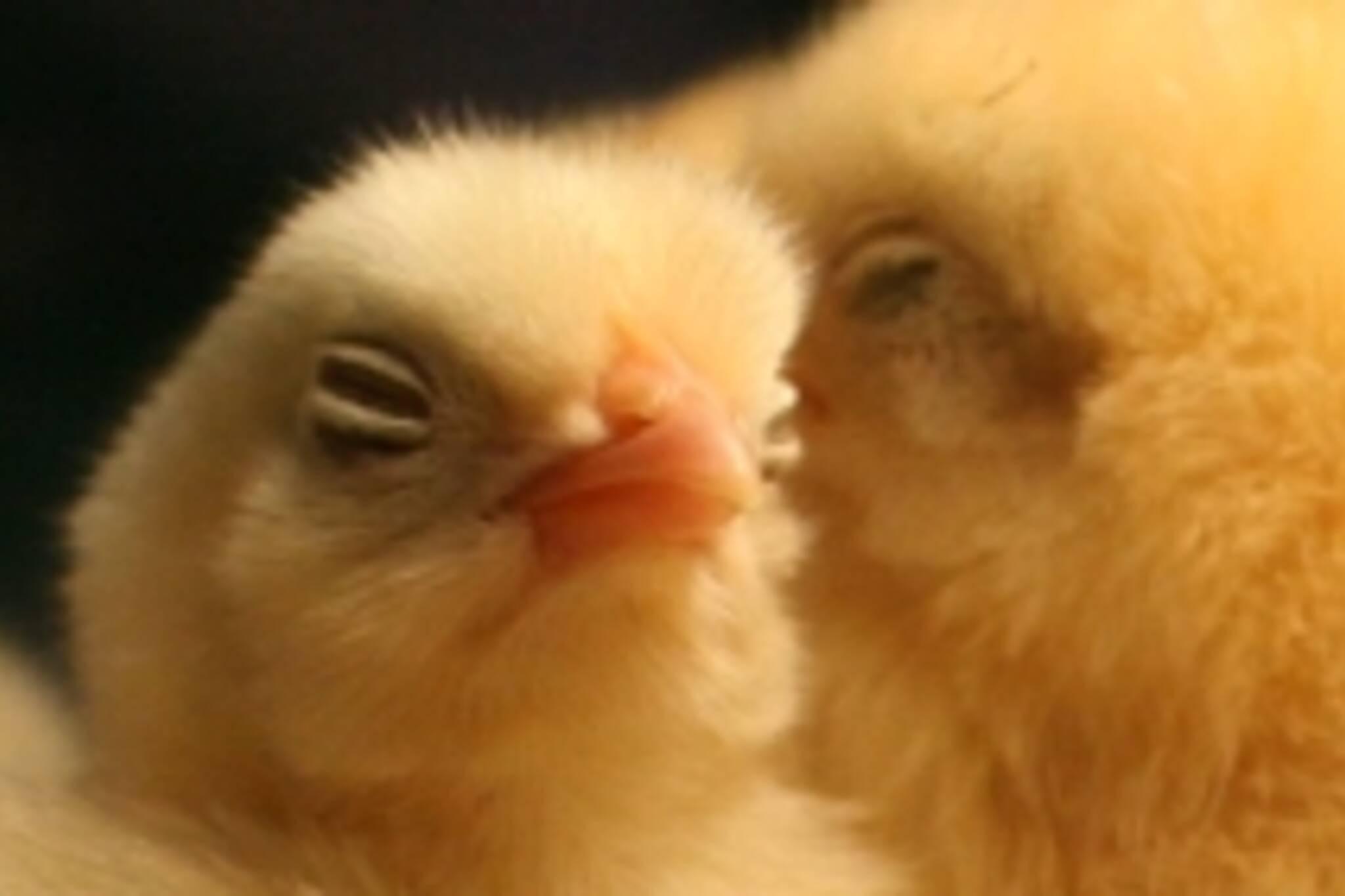 Chicks at Royal Winter Fair