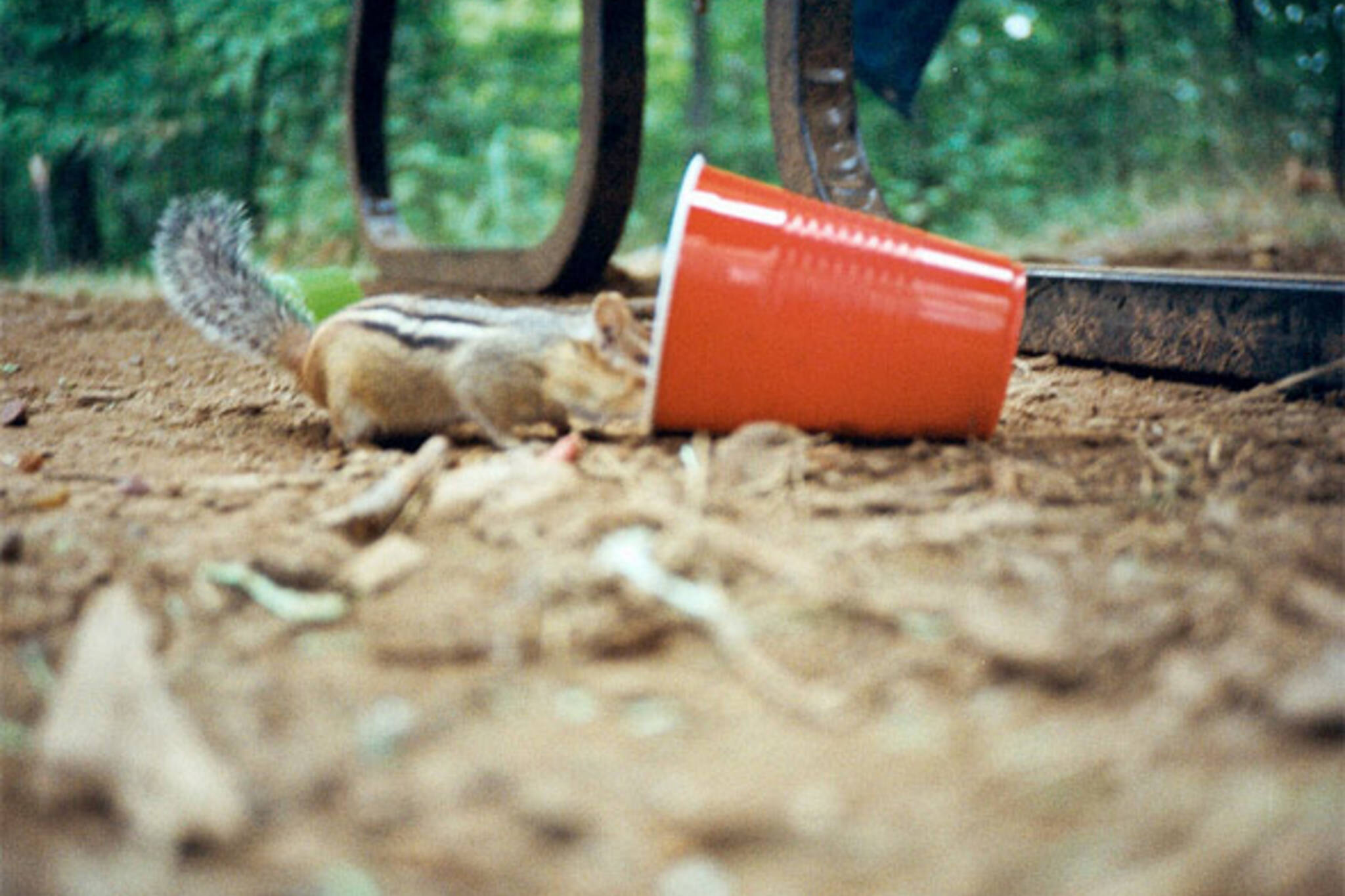 chipmunk in cup