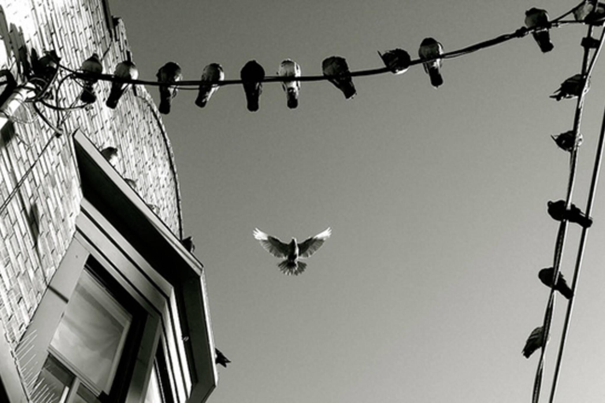 pigeon flying