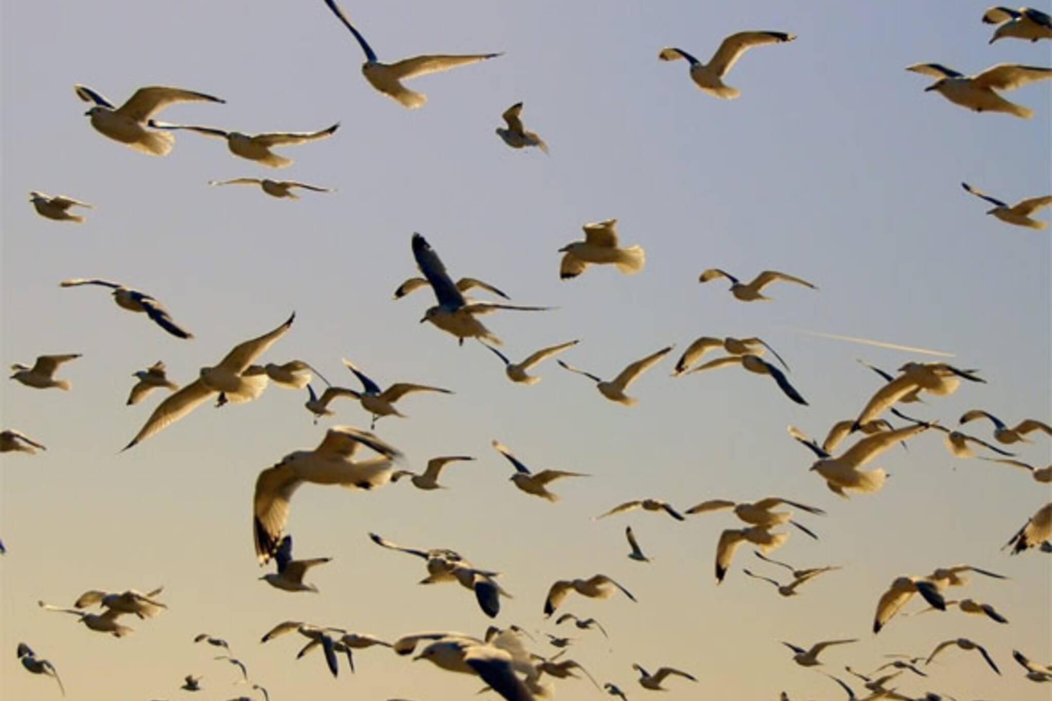 seagulls toronto
