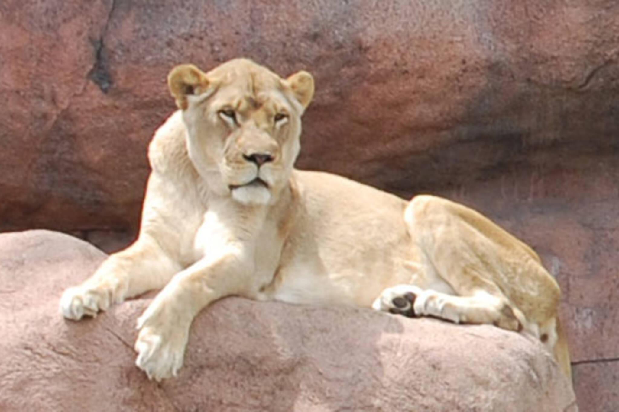 Eunuch Lion basking in the sun