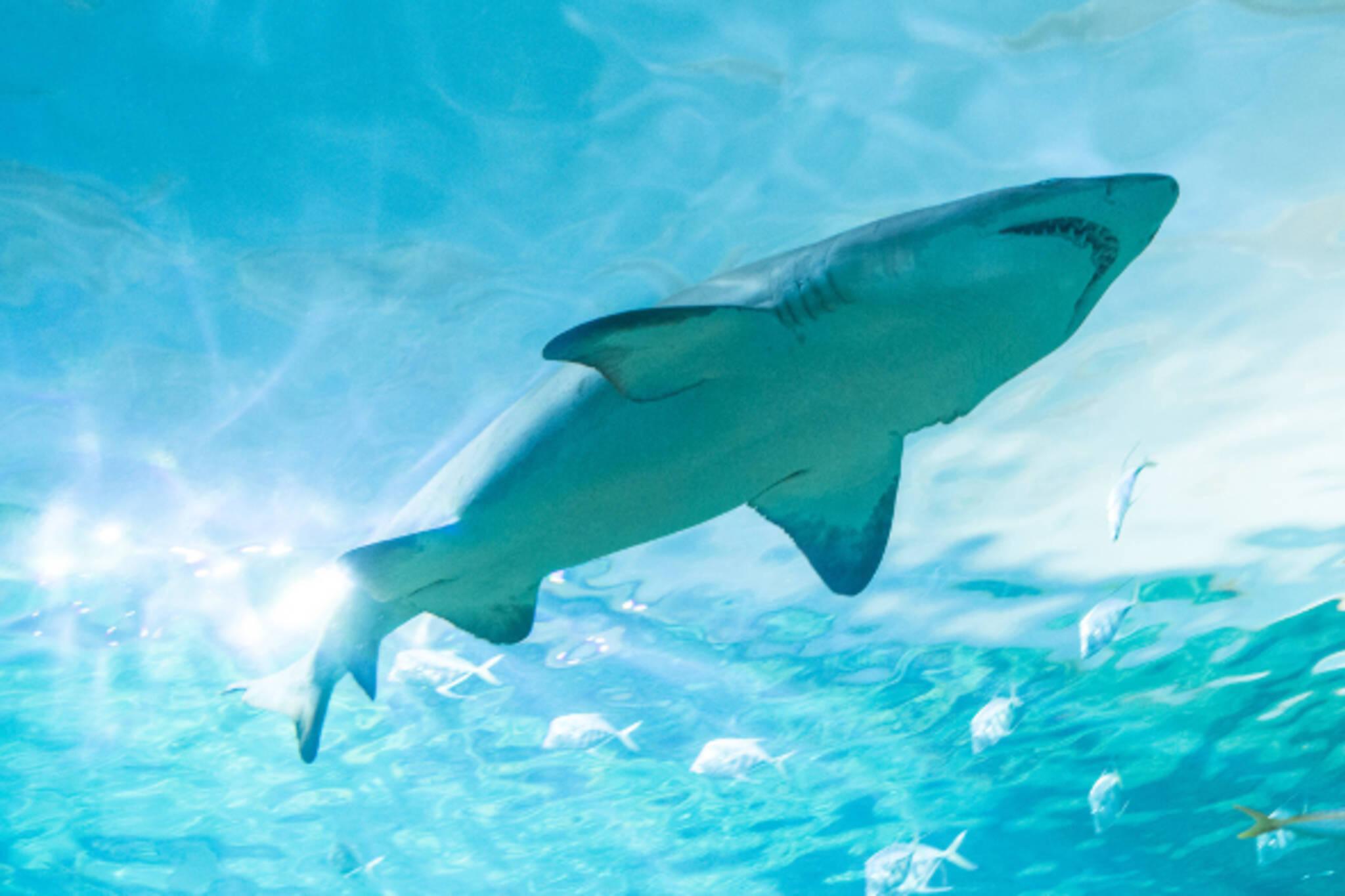shark toronto