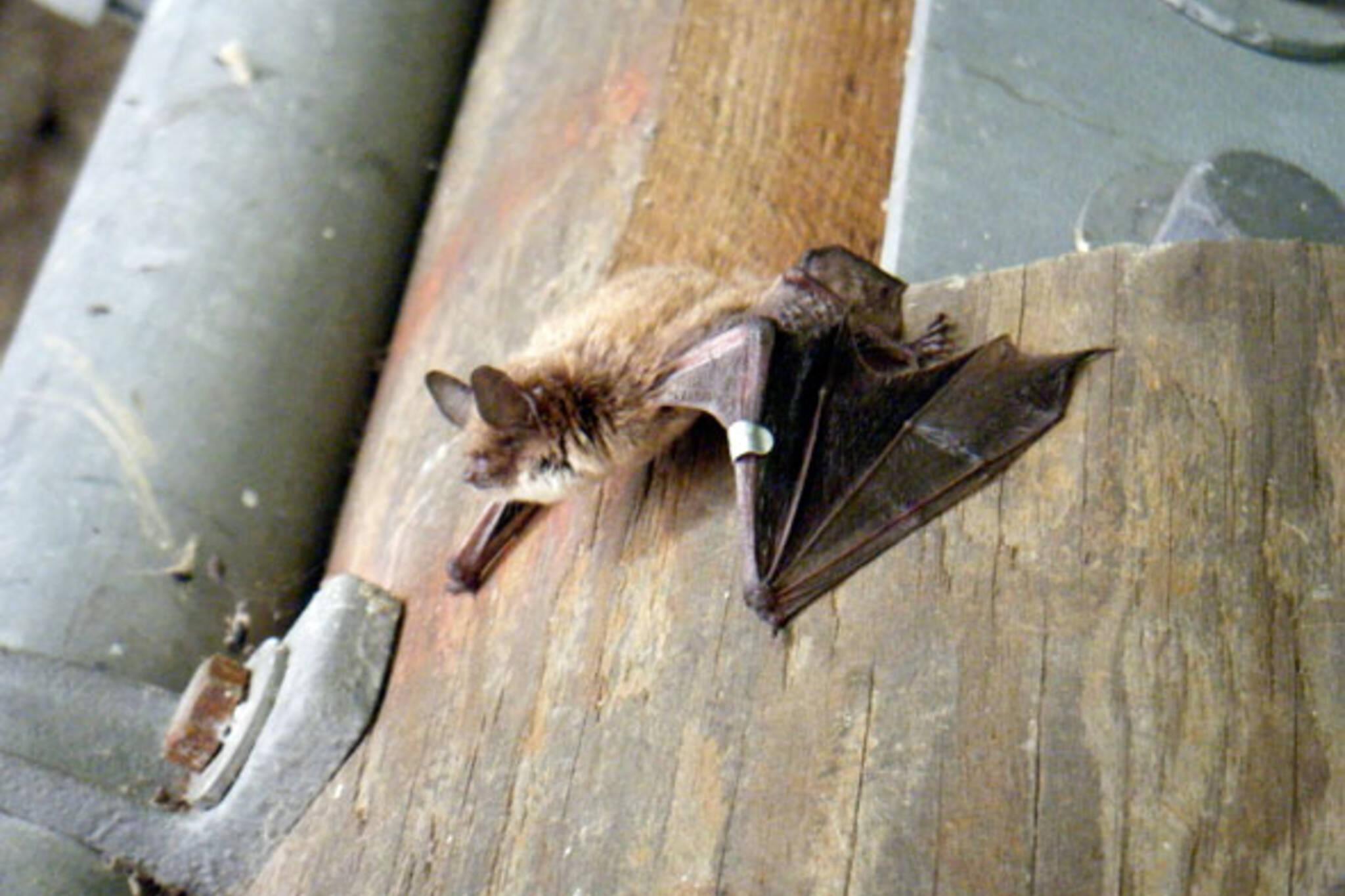 toronto bat