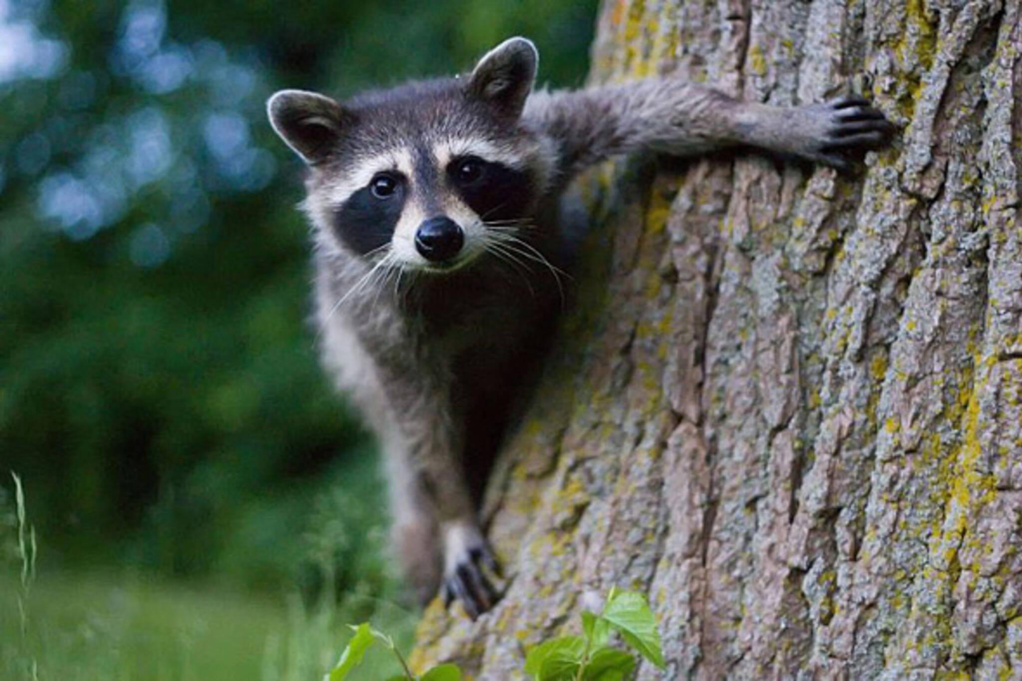 Raccoon Proof Green Bins Fact Or Fiction Part 2