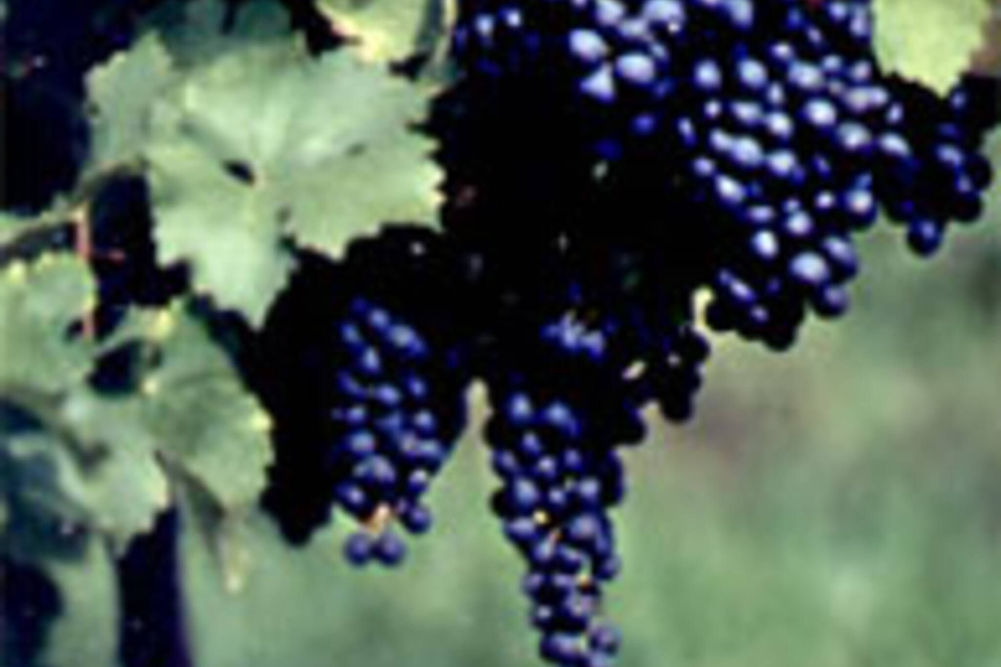 Cabernet Franc Grapes at the Henry of Pelham vineyard (from www.henryofpelham.com)