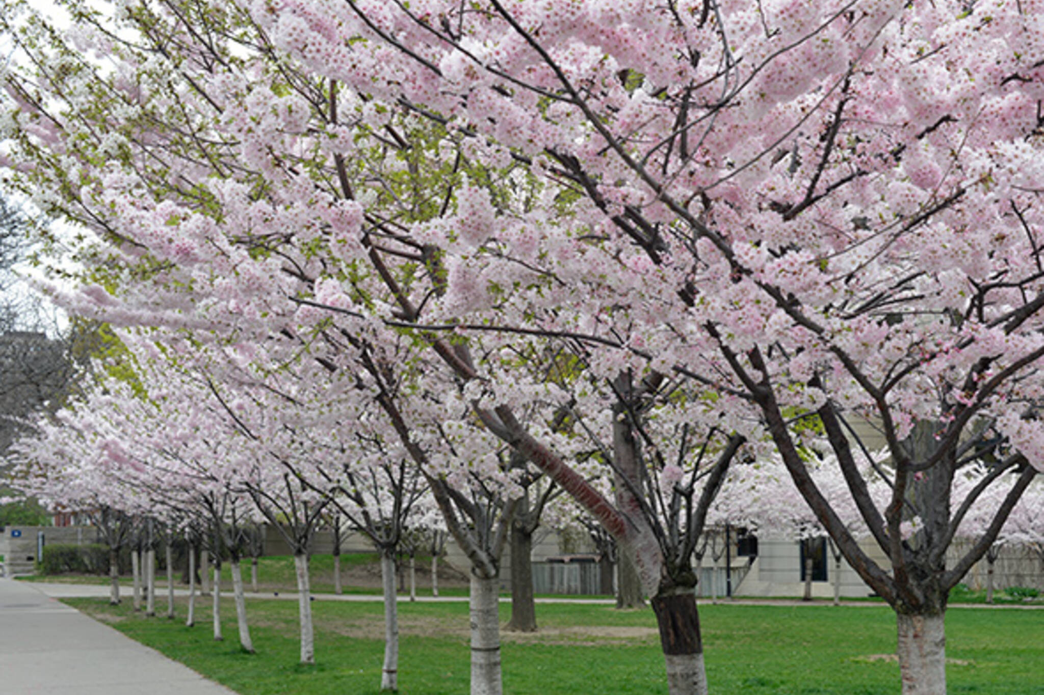 cherry blossoms robarts
