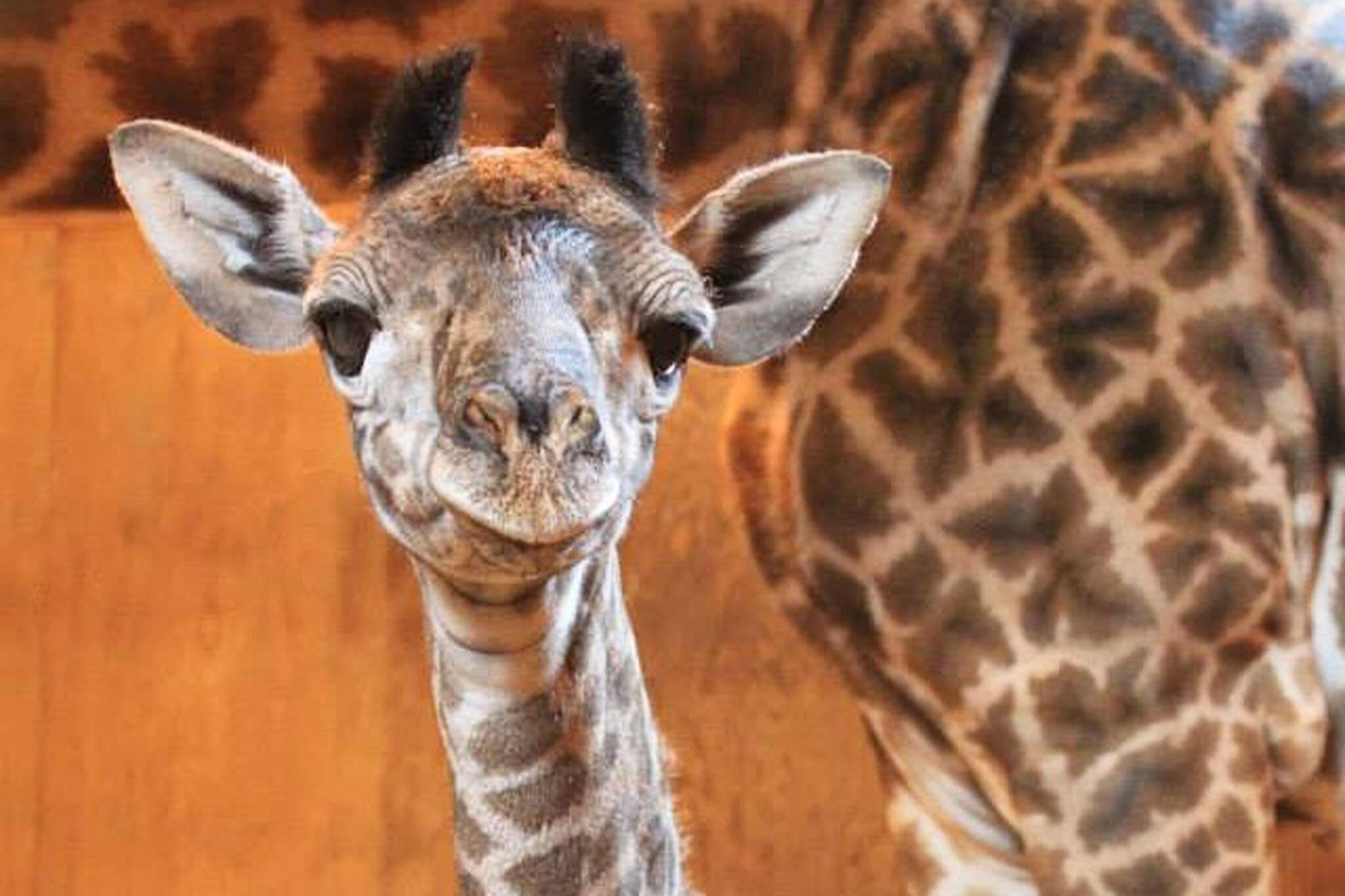 giraffe toronto zoo