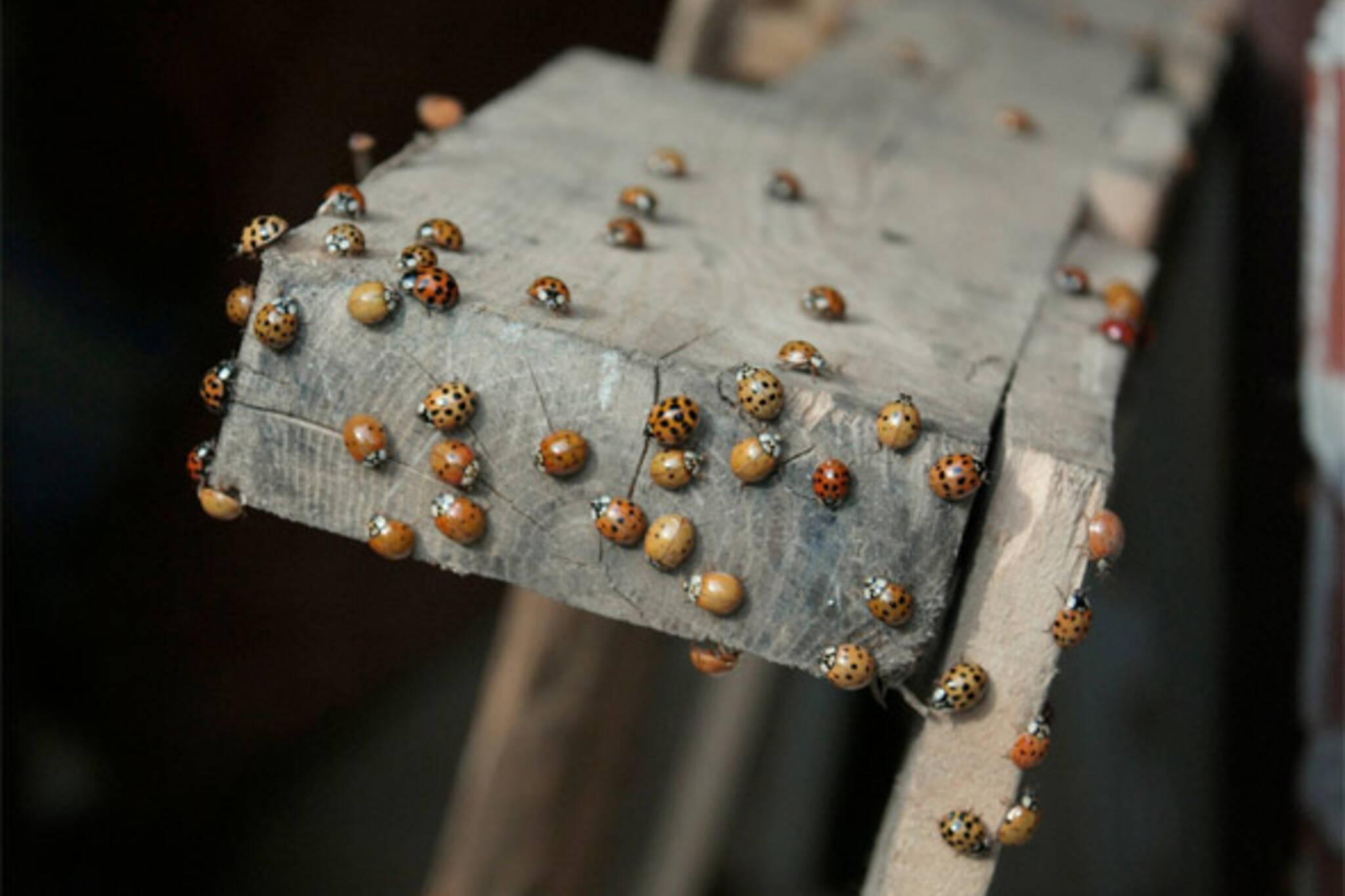 ladybugs toronto