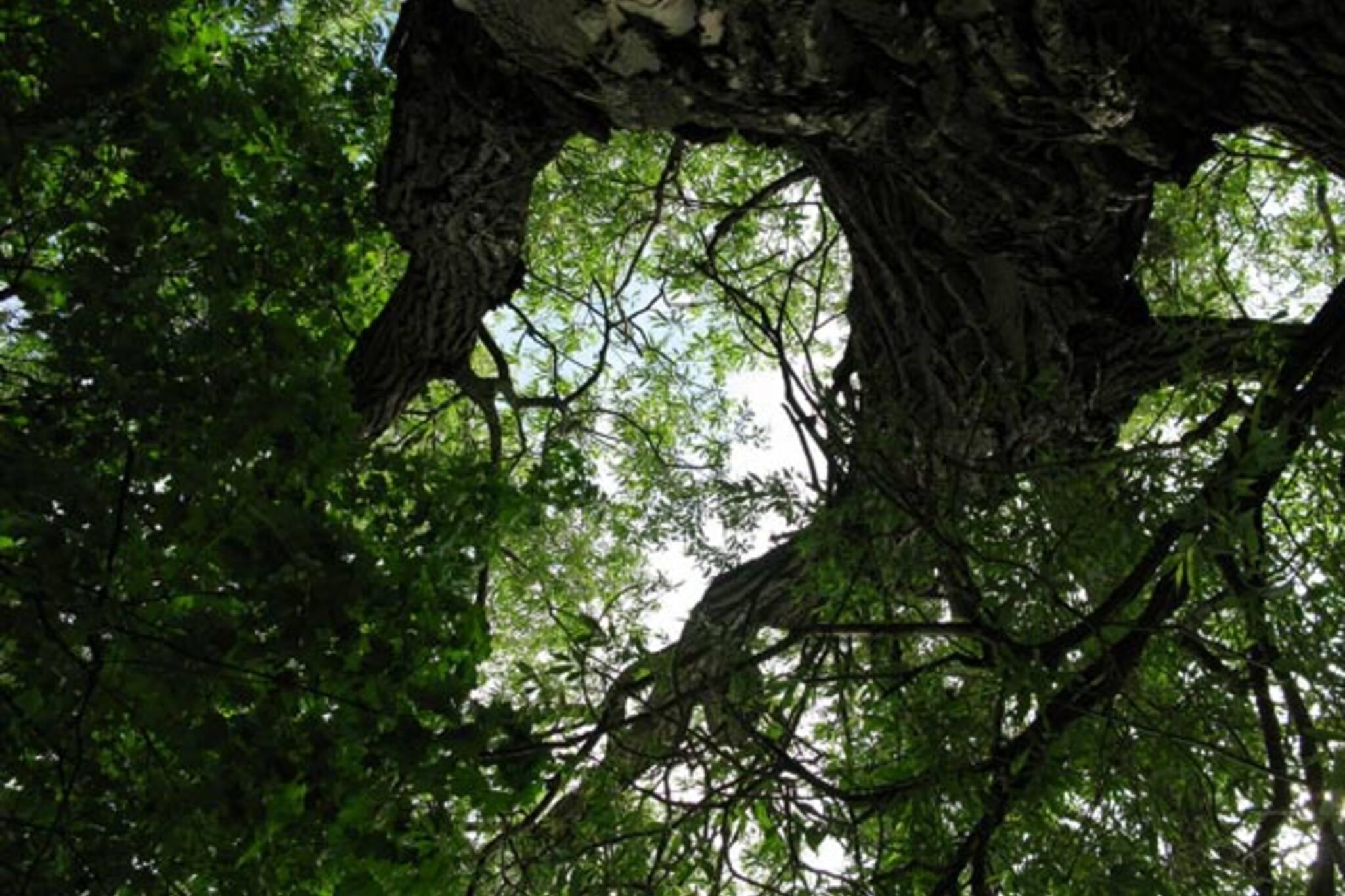 toronto trees
