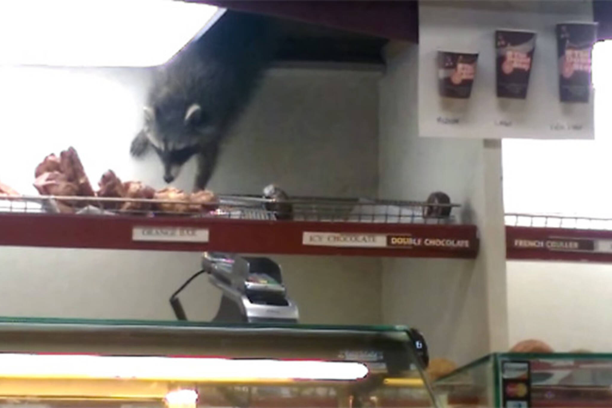 raccoon donut thief toronto