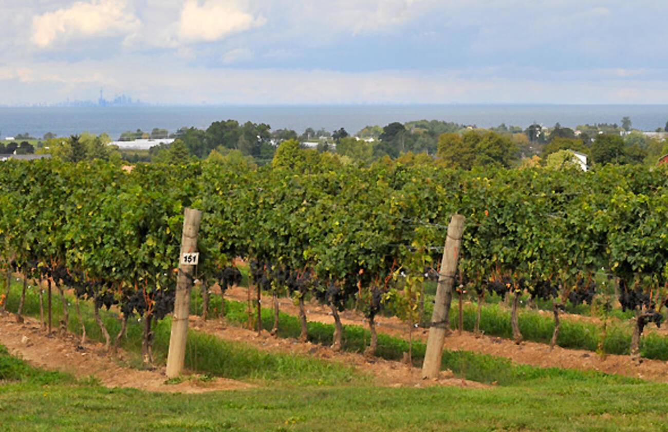 5 Wineries To Visit In Beamsville Ontario