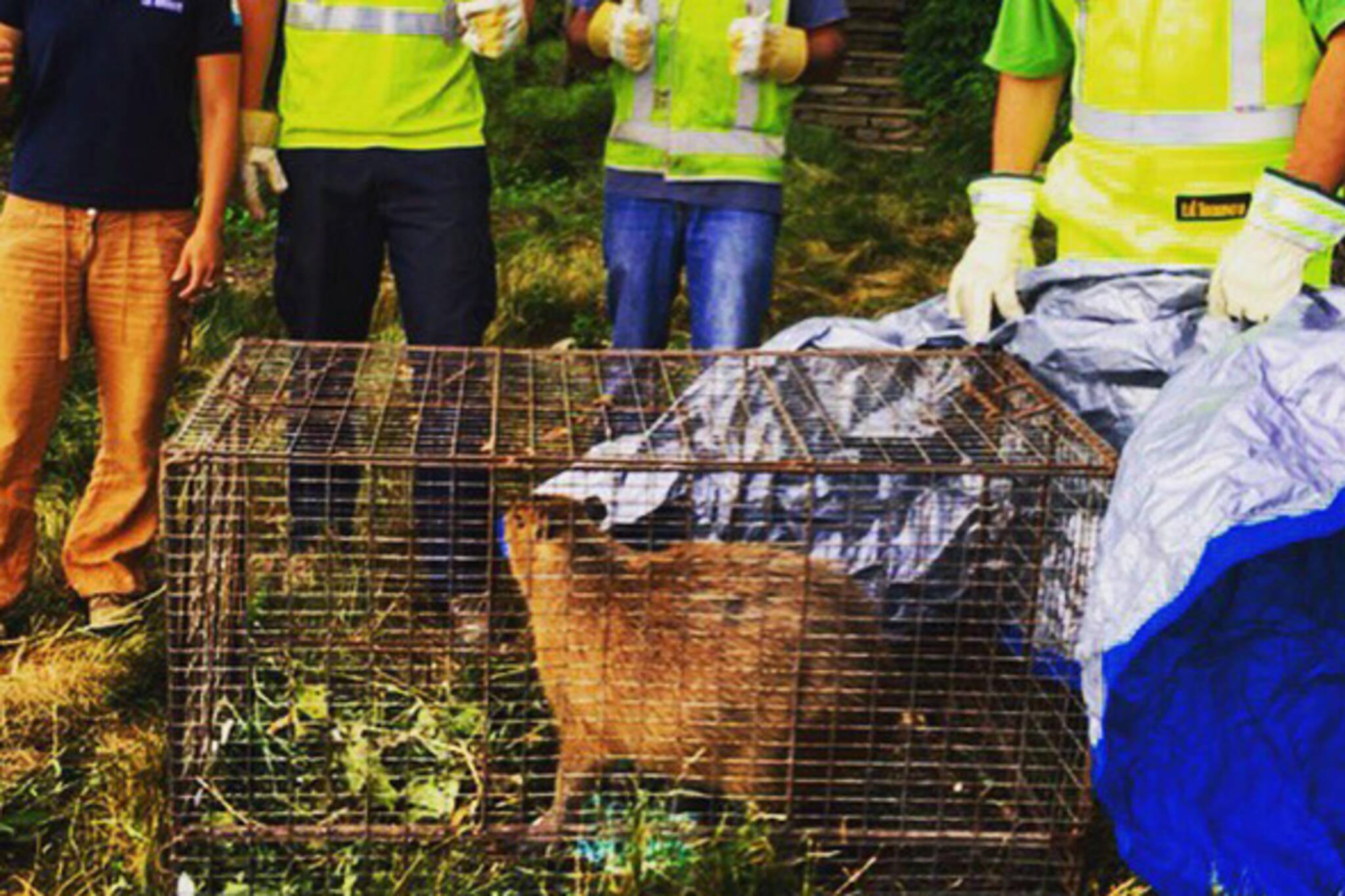 capybara toronto
