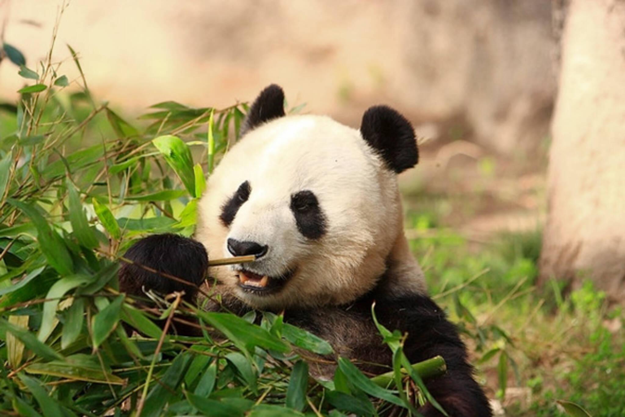 Pandas Toronto