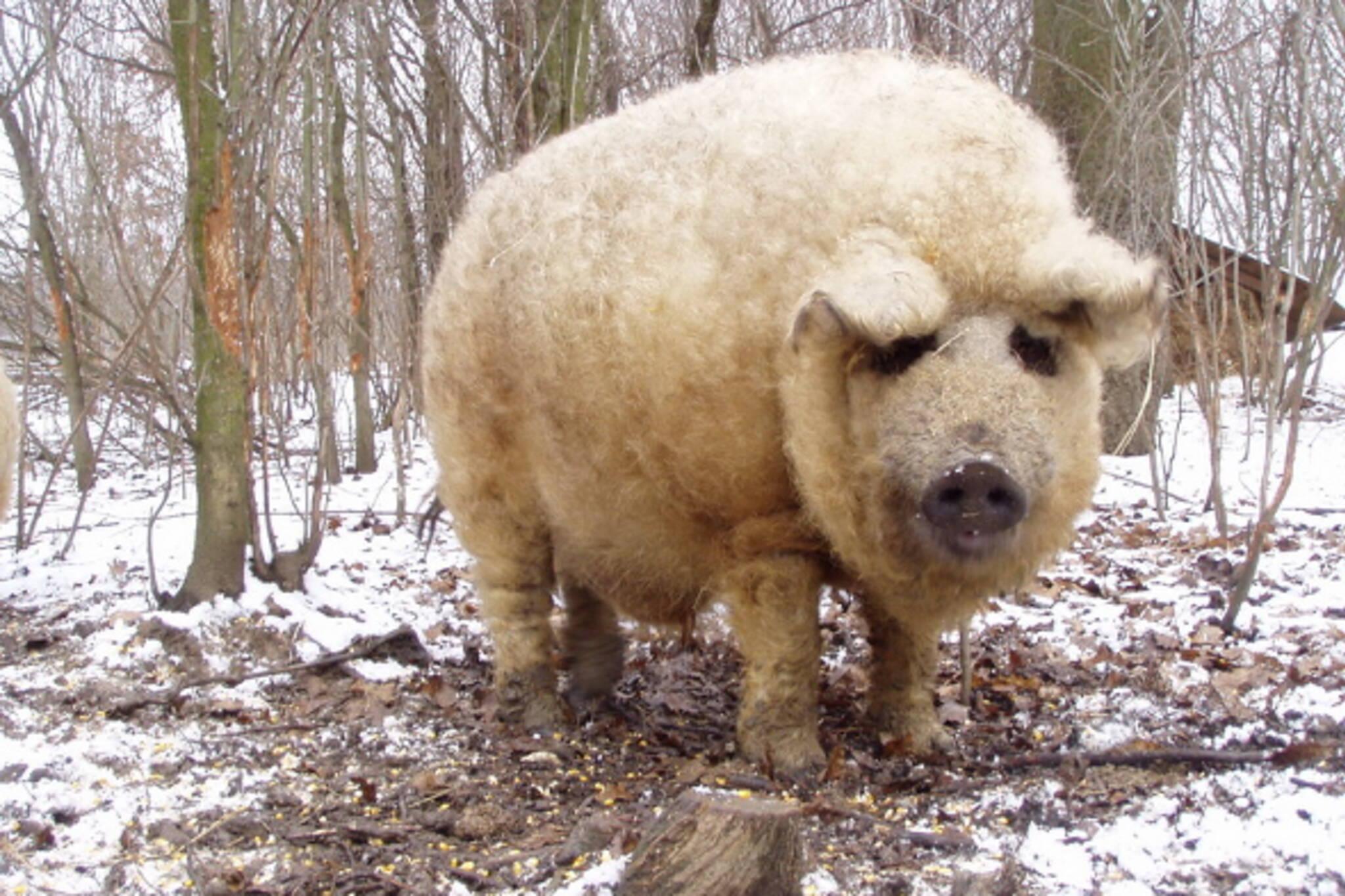 fluffy pig toronto
