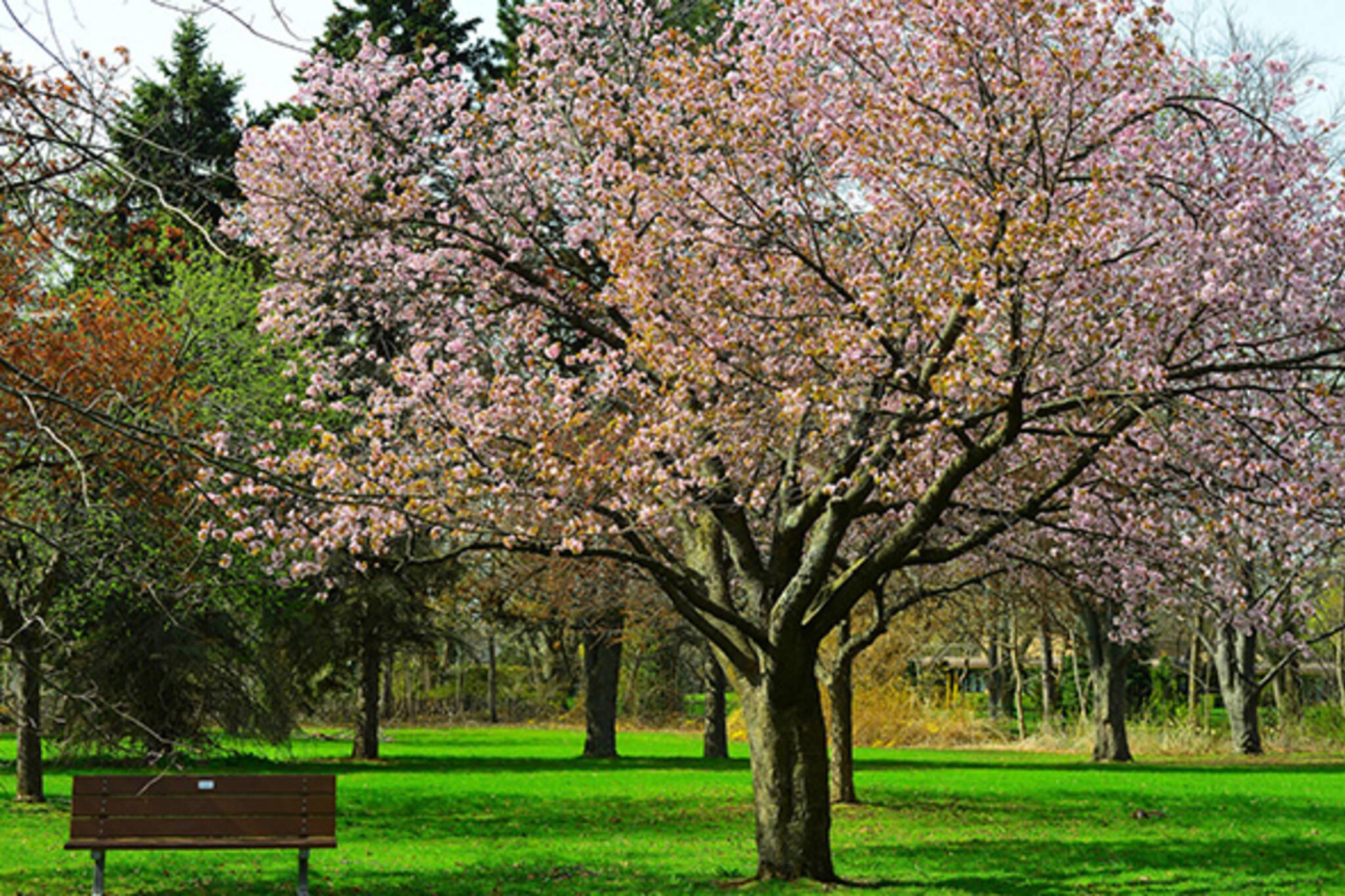 cherry blossom toronto 2014