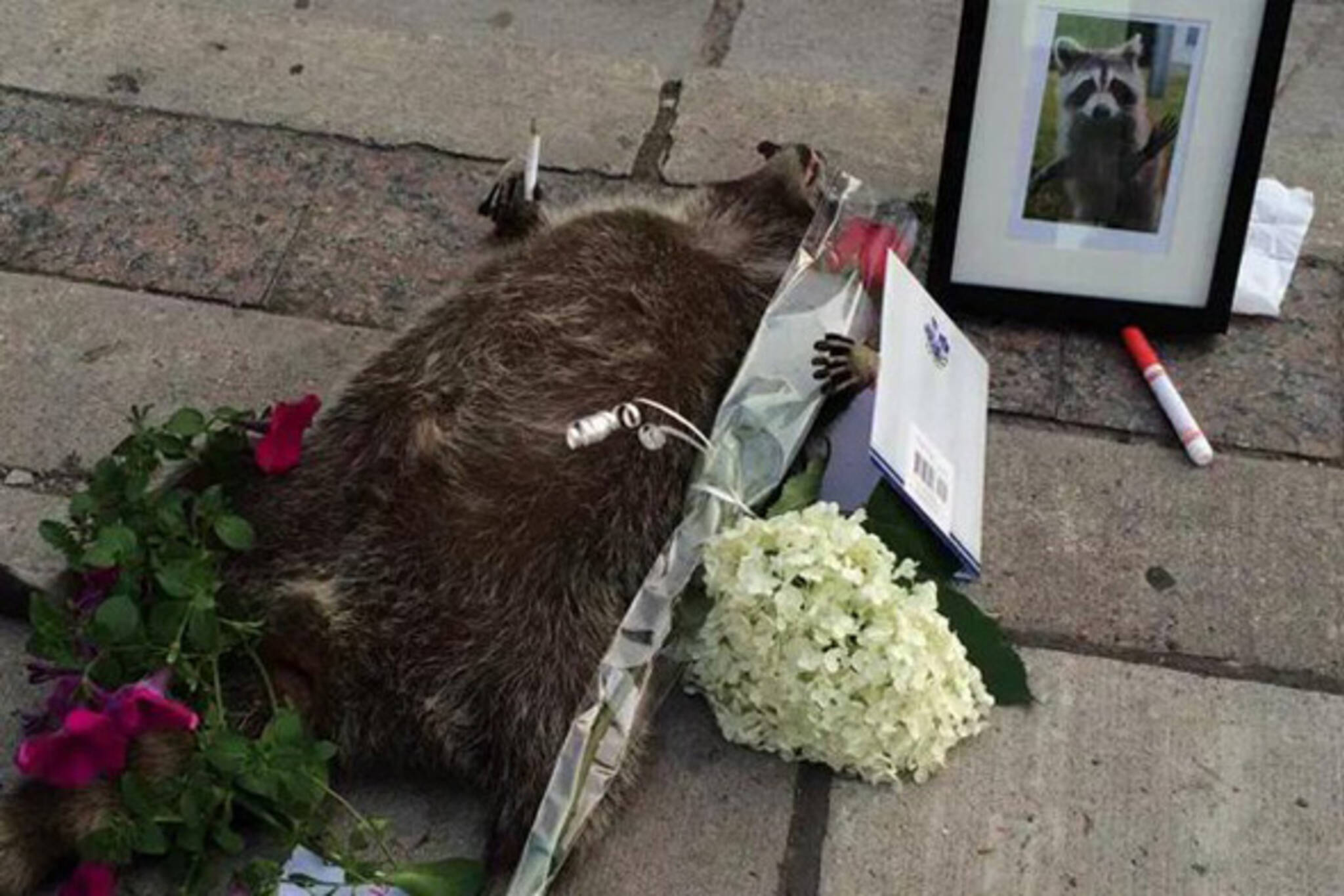 deadraccoonTO