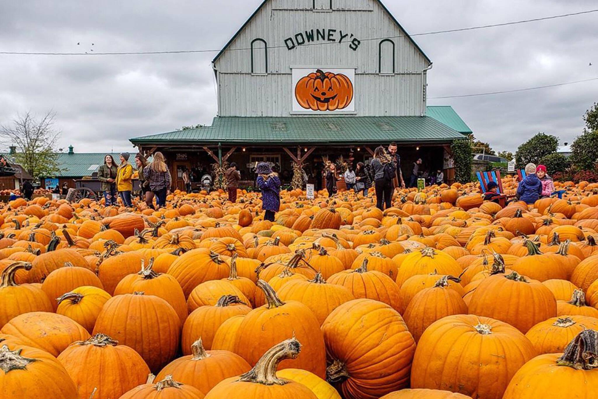downeys pumpkin farm