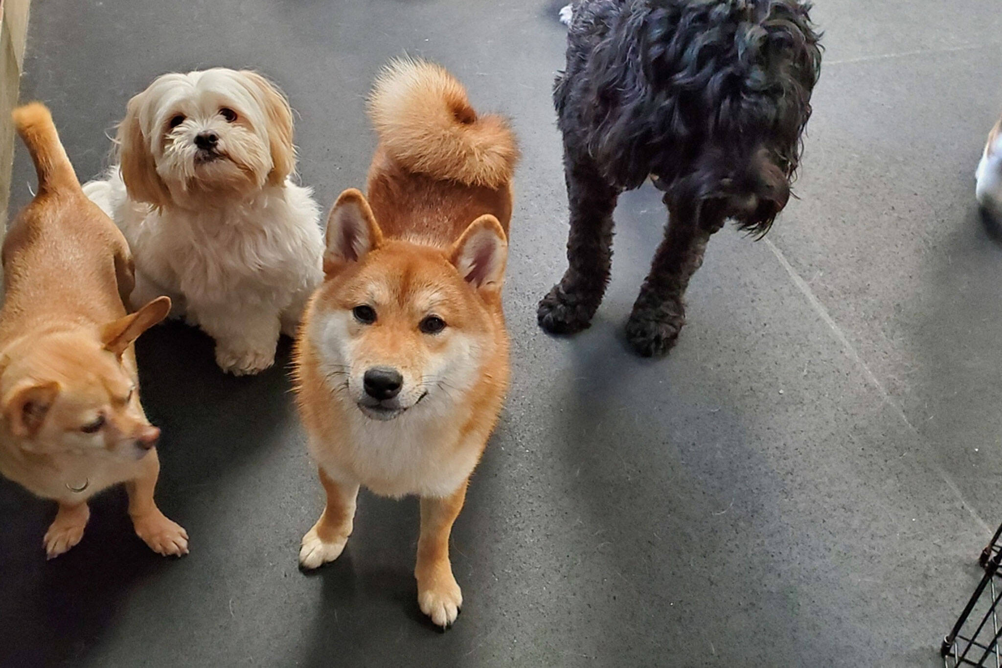 hounds of york toronto