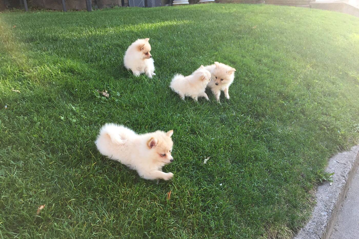 puppies toronto