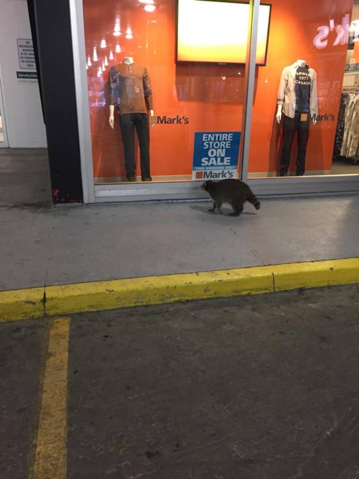 Raccoon Toronto