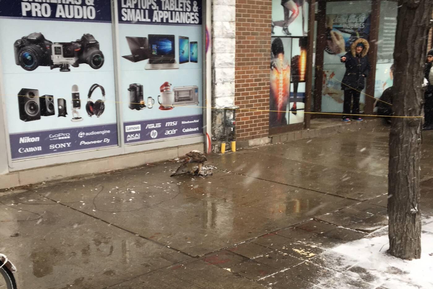 Hawk pigeon Toronto