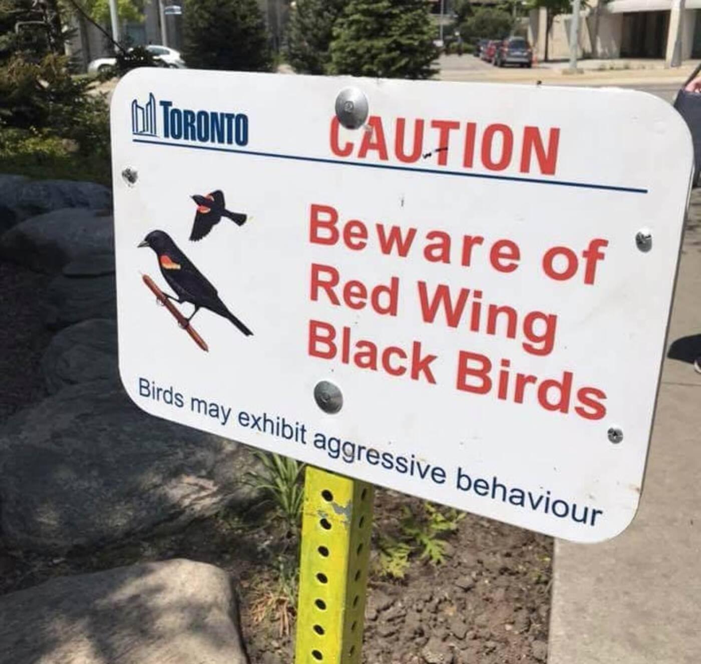 red wing blackbird attacks