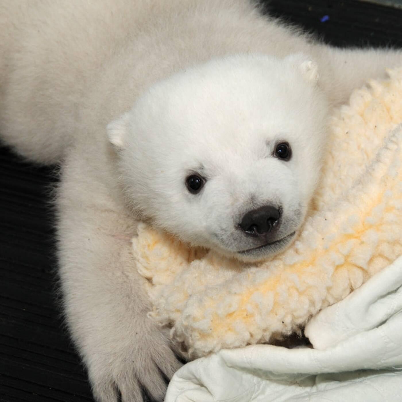 hudson polar bear
