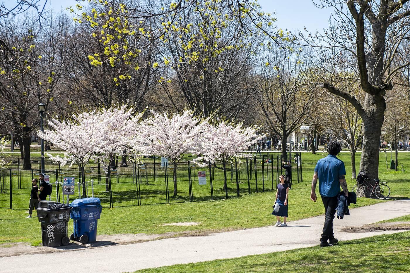 cherry blossoms toronto