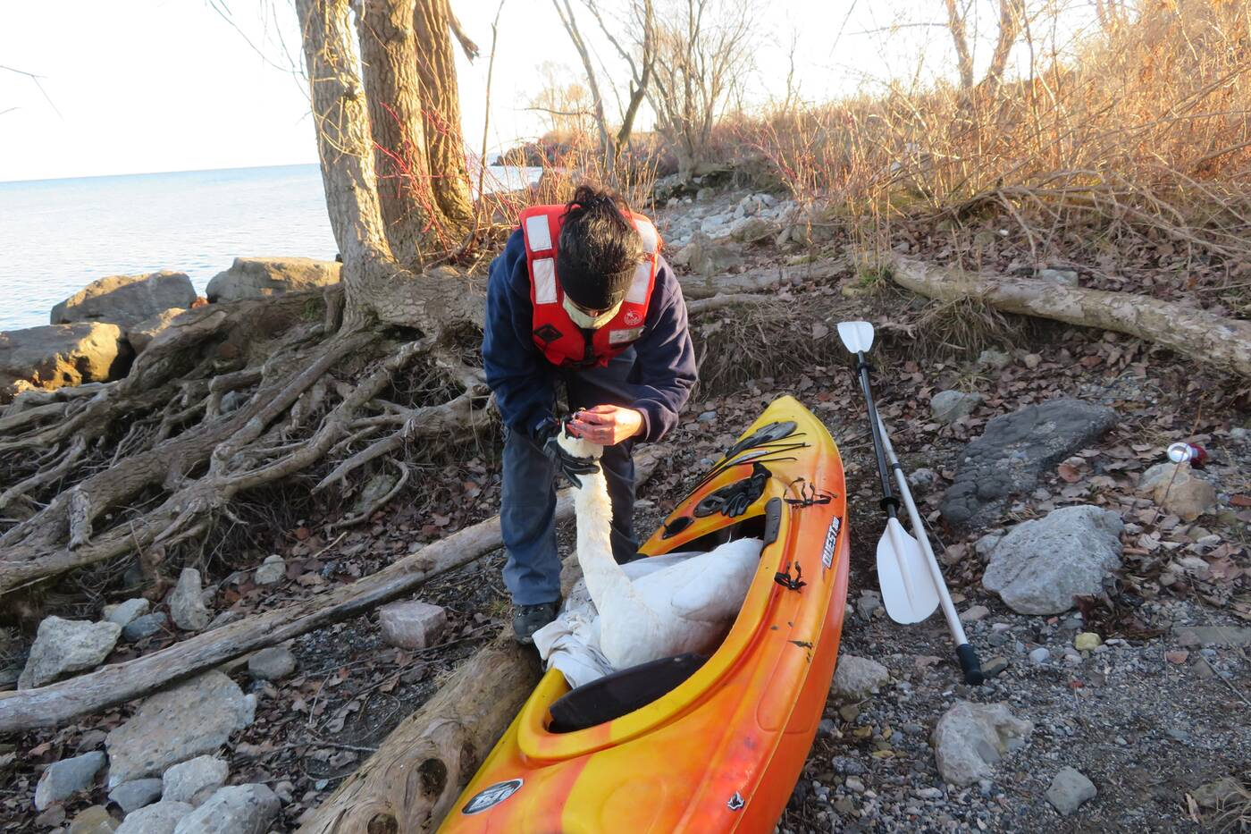 humber swan rescue
