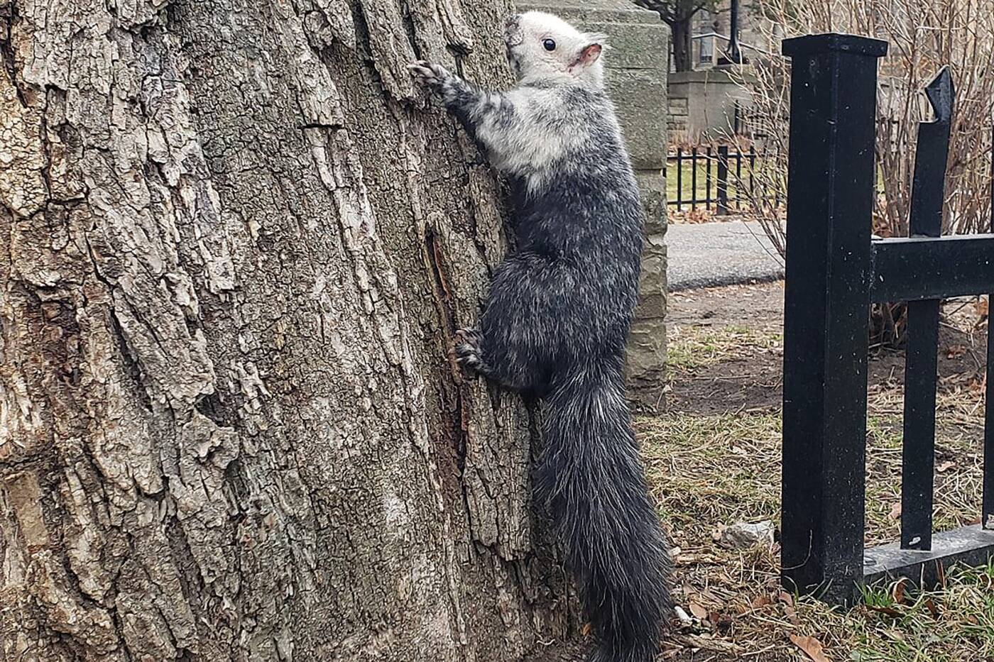 black white squirrel toronto