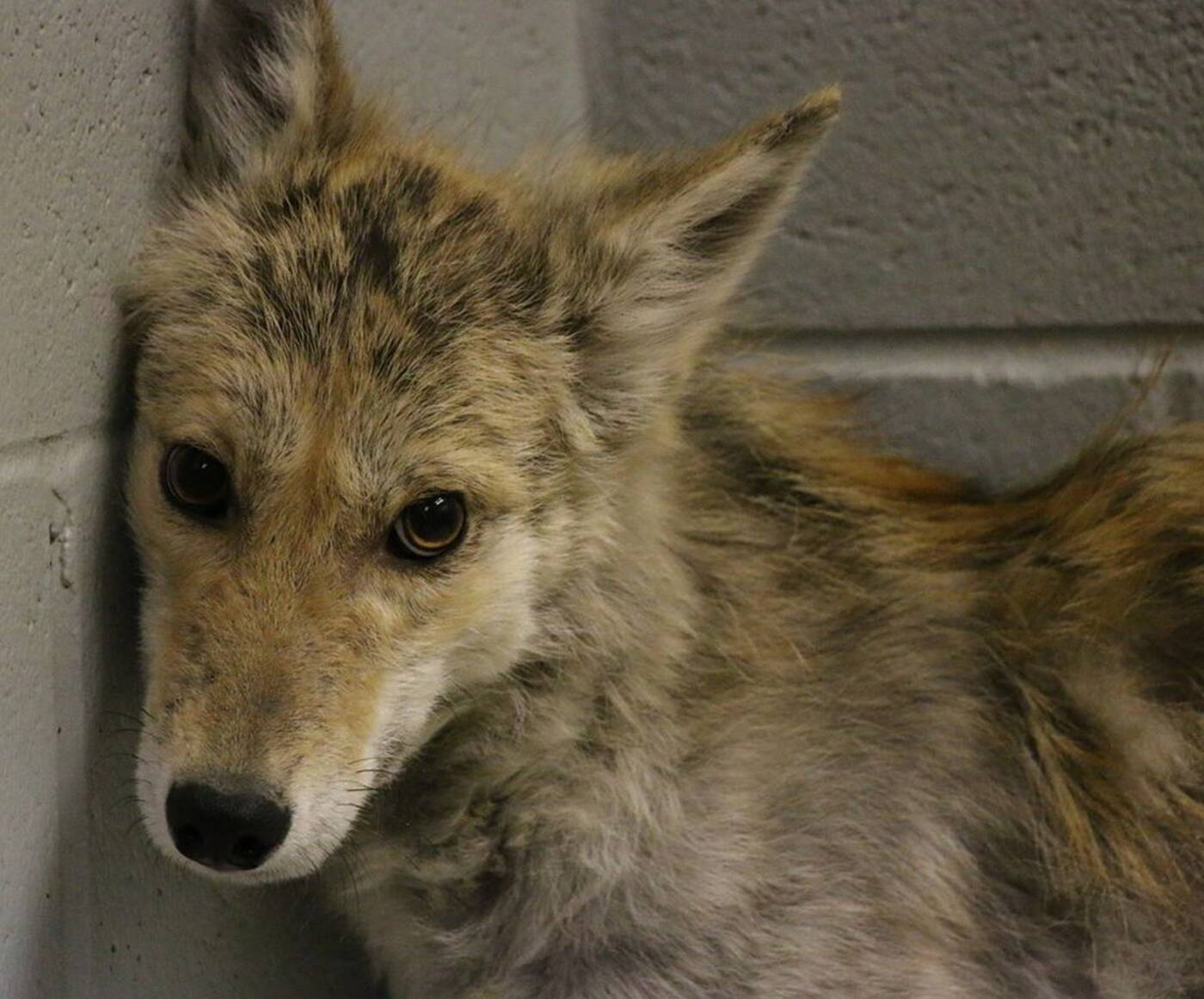 coyote toronto