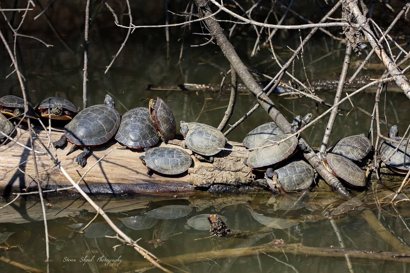 turtles in toronto