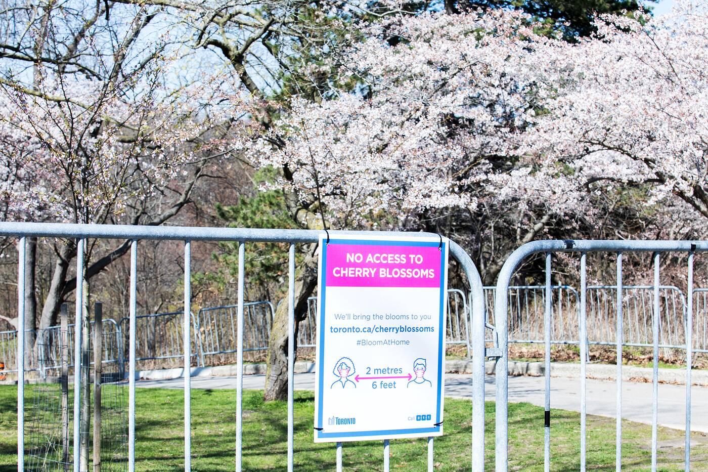 cherry blossom high park toronto