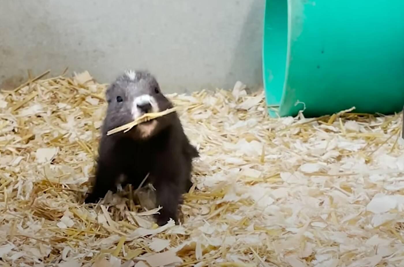 marmots canada